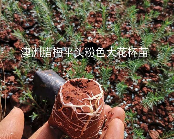 澳洲腊梅杯苗