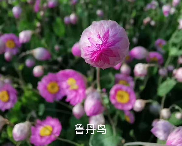 鲁丹鸟粉色