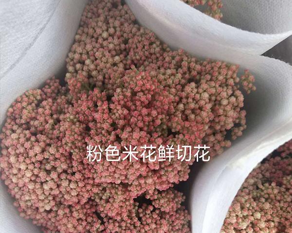 粉色米花切花