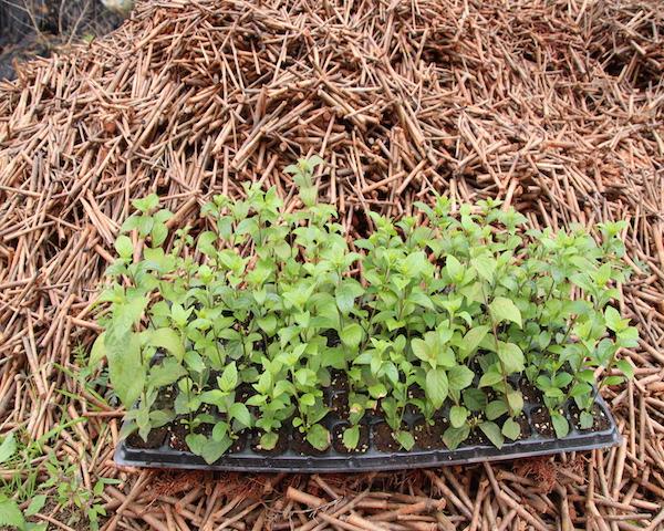 进口紫珠种苗