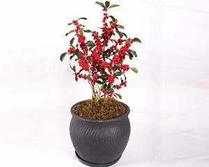 北美冬青盆栽