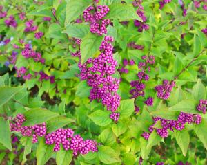 昆明进口紫珠