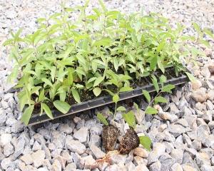 昆明雪梨花种苗